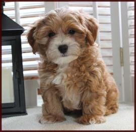 Shichon poo aka Daisy Dog Puppies for SaleMixed Breed for