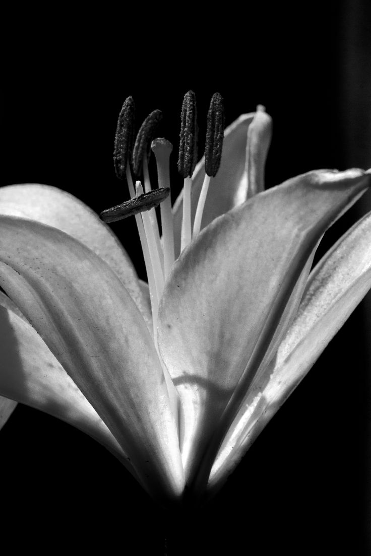 Asiatic Liliy | Canon 70D, Lens Sigma 105 Macro, f16 @1/250 ISO 800. Converted to B&W IR using Elements 12