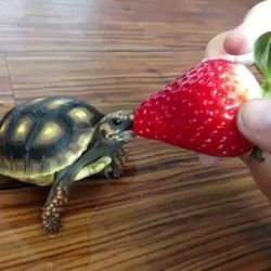 Never mind getting a dog! I want a tiny turtle that I can feed strawberries to! (gif)