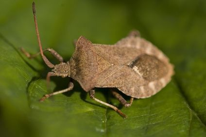 Home Remedies for Stink Bug Infestation