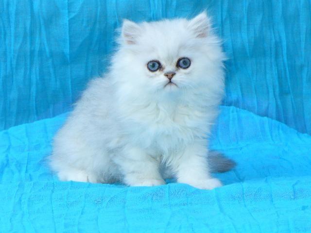 Chovatelská stanice koček: Perská kočka - KOMTESA, CZ
