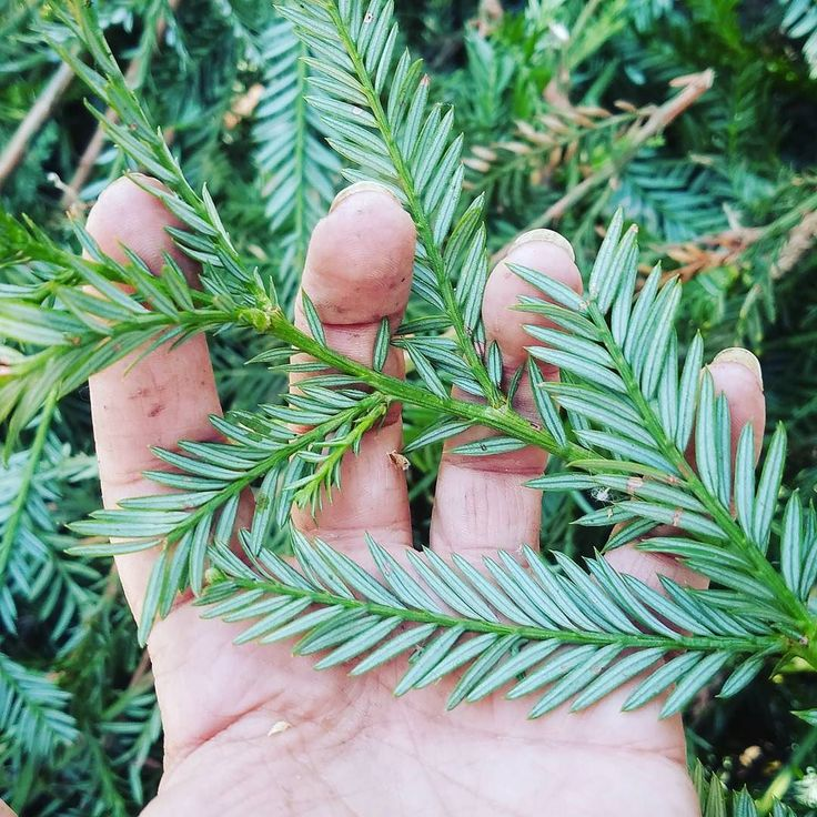 #Harvesting #redwood today in a near state of #euphoria! If I hadn't been alone in the #garden I might have needed to get a room! Ha! The best thing about working with fresh #plants is how amazing you get to smell. The #lemony #pine #fragrance makes me long for the coming #seasons. Thinking tea #distillation #oil #infusion #honey... So many #possibilities! Definitely will be some #EssentialMists for #Xom3 but what about #lotion? Good things brewing in the #apothecary! #naturalskincare…