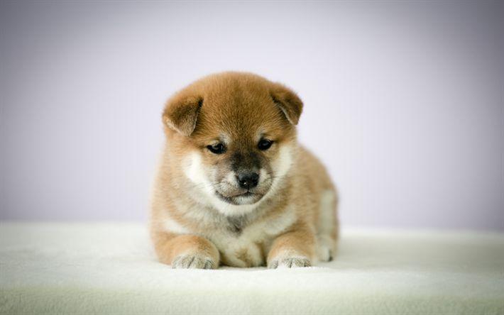 Download wallpapers Shiba Inu, puppy, 4k, dogs, pets, cute dog, Shiba Inu Dog
