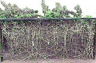 Amazing thistle roots