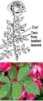 Gardening Tips - How to Deadhead Roses