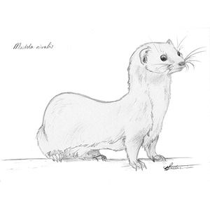 #Least #weasel #art #sketch #illustration #drawing #animals #wildlife. Buy him here! bit.ly/2a1THdl