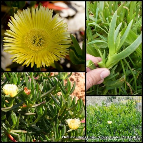Succulent Sour Fig x 200 Cuttings Yellow Groundcover Pigface Carpobrotus edulis Plant Iceplant $55.95