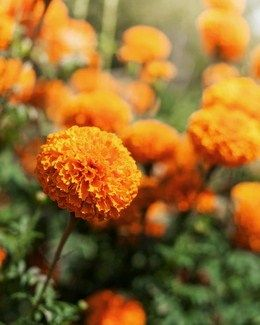 Do you have information on all the orange flower names? Browse through the following article and find yourself refreshed with vibrant images of the flowers given below.