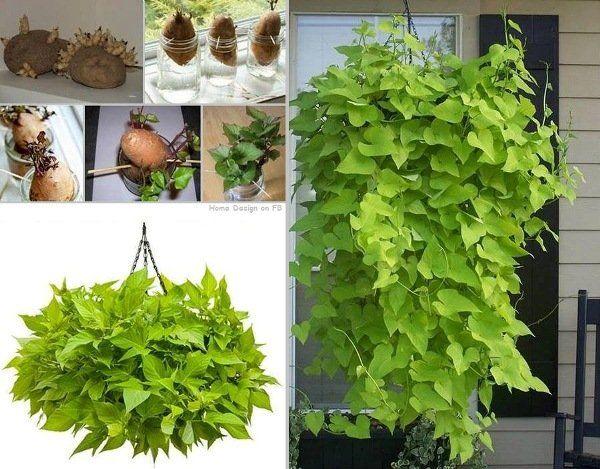 Plante de patate douce!   Trucs et Bricolages