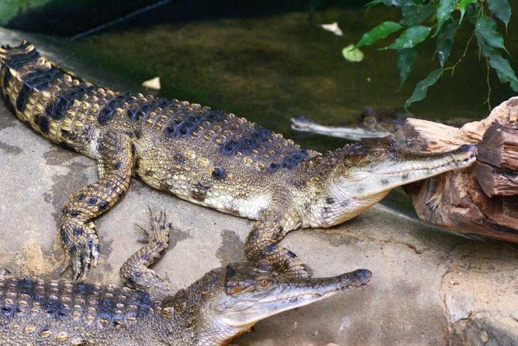 zijn het heeeeeeel grote hagedissen of kleinen krokodillen?