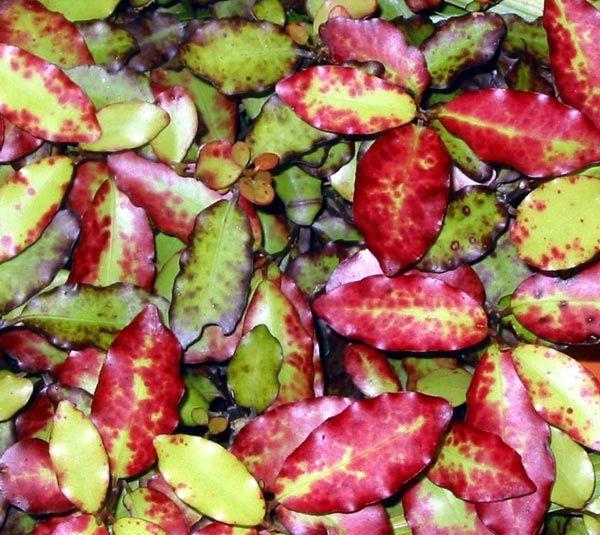 Horopito or Pseudowintera colorata. New Zealand Native Shrub