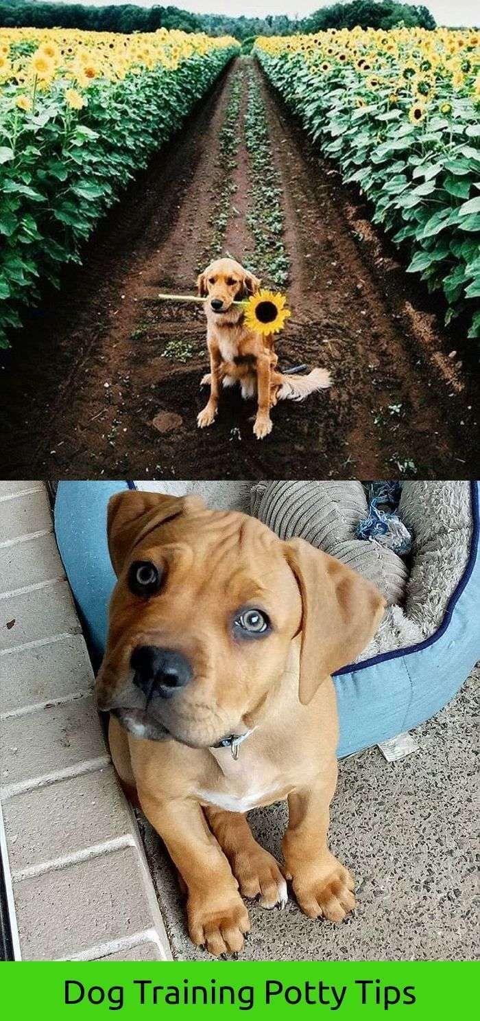 Training Dogs For Sale Aww Boxer Dog Puppy Boxer Dogs Boxer