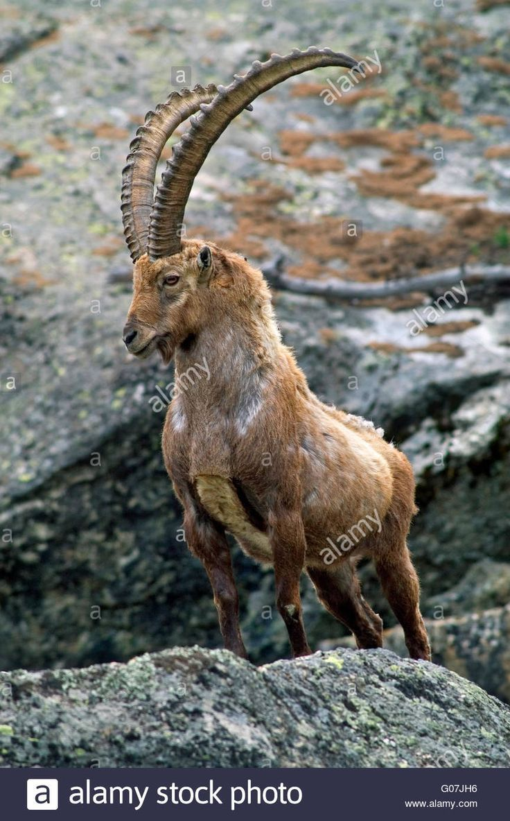 Big dominant Alpine ibex (Capra ibex) with huge horns standing in mountain  rock face in the Alps Stock Photo   Majestic animals, Alpine ibex, Animals  with horns