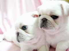 OMG Adorable White Pug Puppies I want one