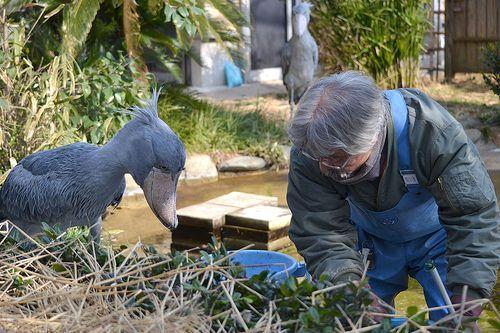ハシビロコウ@上野動物園