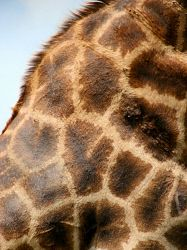 """TWA-0034638 © WestPix It's hard to have a lens that's too long in Africa. It will """"take you closer"""" to wildlife, and give detailed shots like this giraffe's skin. To get a good portfolio of images, always look up, look down, look short, look long."""