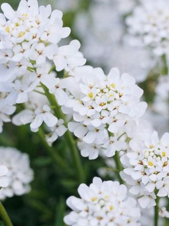 Candytuft Iberis Sempervirens Fragrant White Flower Clusters Snowflake Or Purity Steep Backyard White Flowers Cool Plants
