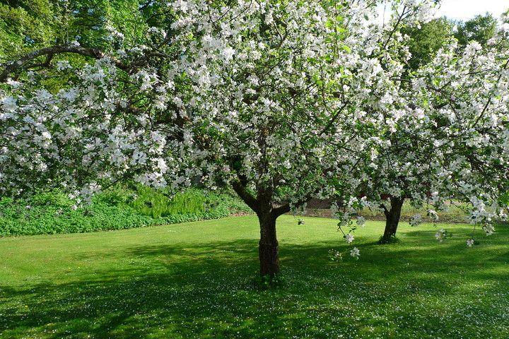 äppelträd - Sök på Google