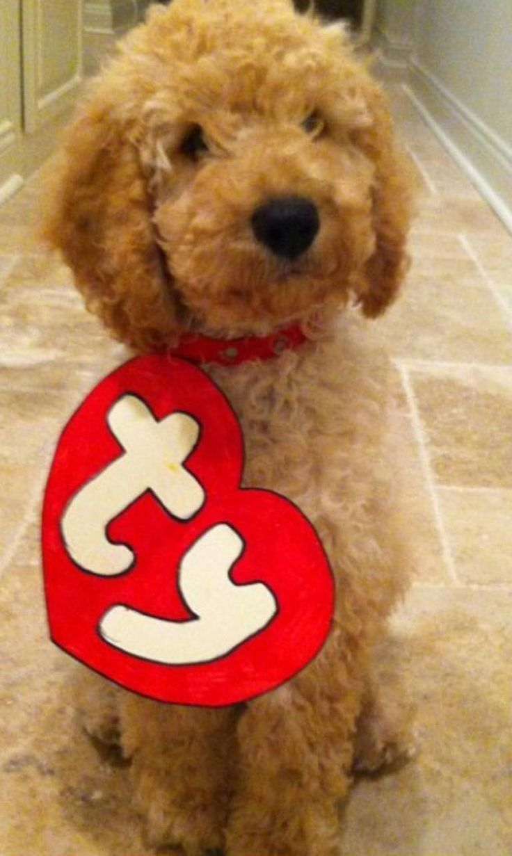Goldendoodle as a stuffed animal = PERFECT halloween costume