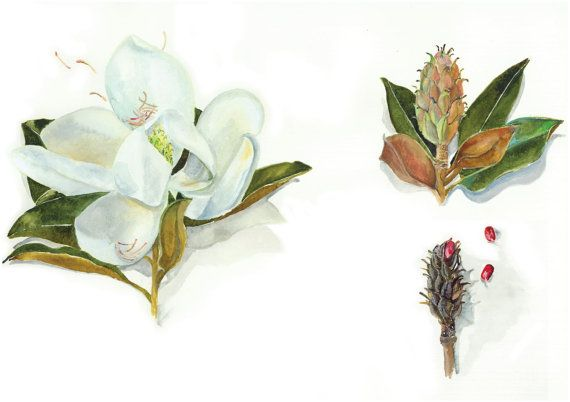 Magnolia deconstructed A3 high quality signed print by DrawingFred