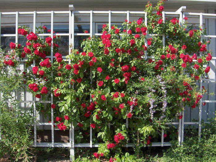 как вырастить плетистые розы