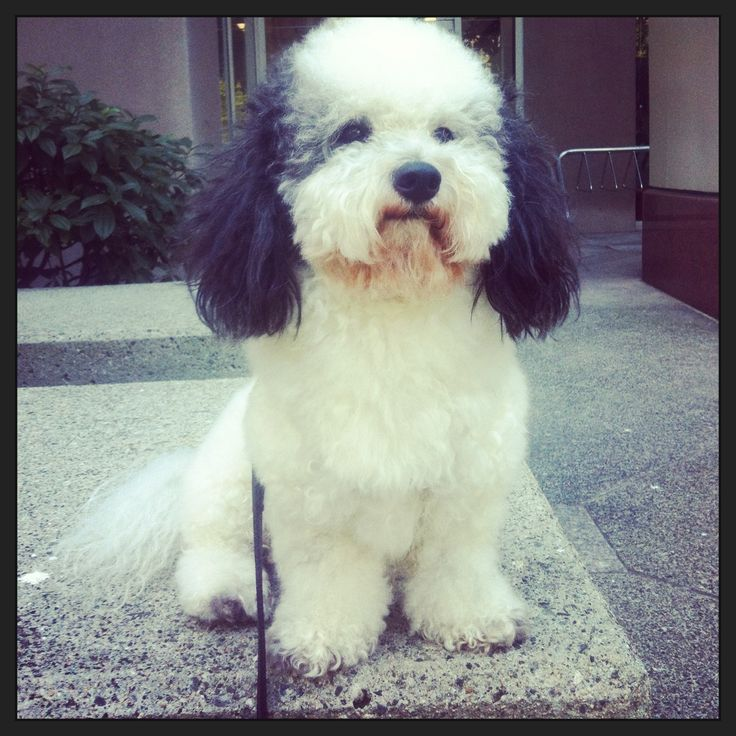 Oreo loves taking baths, being brushed and walking all over the city. He takes his time to sniff every tree, grass area so he can make his mark. Since Oreo is so chilled he has been approved to be a dog therapy for patients in the hospitals and senior homes.  Oreo loves to go shopping at the Hudson Bay or even online.