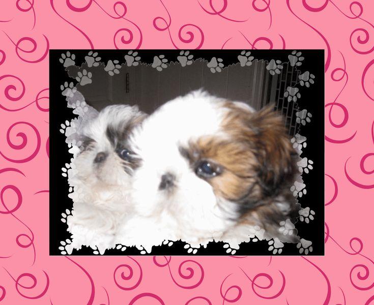 Shih Tzu puppies for sale NC, shih tzu breeder NC