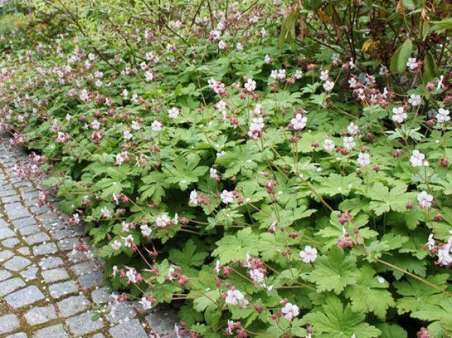 Geranium macrorrhizum 'Spessart' Seizoen 1-12 hoogte 35 plantafstand 45