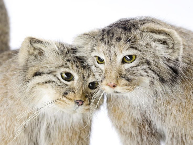Otocolobus manul (Pallas), Pallas' cat, aduld male, born c. 1995, died in captivity in Moscow Zoo, 12 January 2000