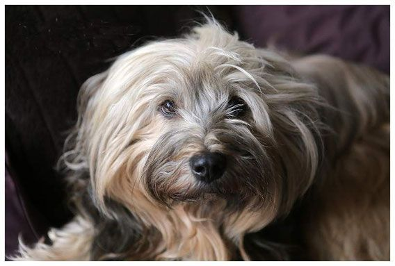 Der Tibet Terrier It S About Chiru The Tibetan Terrier