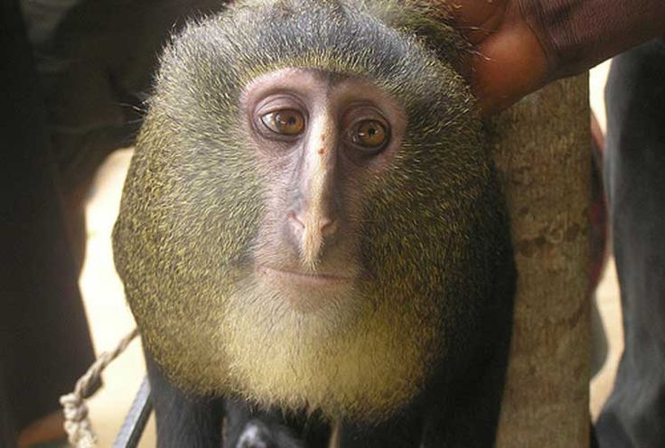 new species of monkey :Lesulas are known for their striking owl-like face.