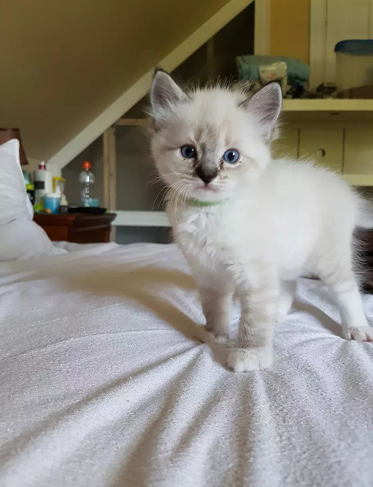 Homed Ragdoll cats and kittens available for sale. Ragdolls in Costumes, retired ragdolls. #ragdollcatandkittens