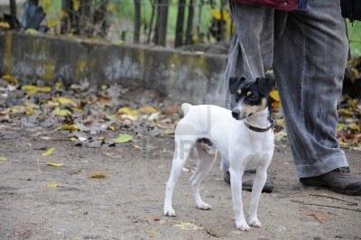 Fox Terrier Blanco Fotos, Retratos, Imágenes Y Fotografía De Archivo Libres De Derecho. Image 13923670.