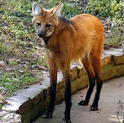 long legged wolf information | Maned Wolf - Long Legs With Red Fox Head from South America