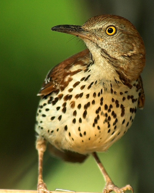Brown Thrasher, Ga State bird. I have lots of these in the spring in my backyard. They eat at my feeders