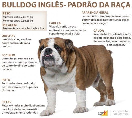 Padrão da raça Buldogue Inglês
