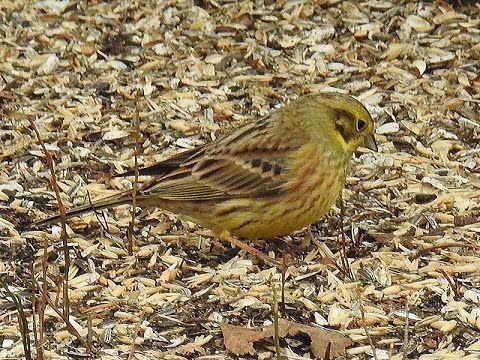 Luonto & Retkeily: Lintuja pellolla ja lintulaudalla