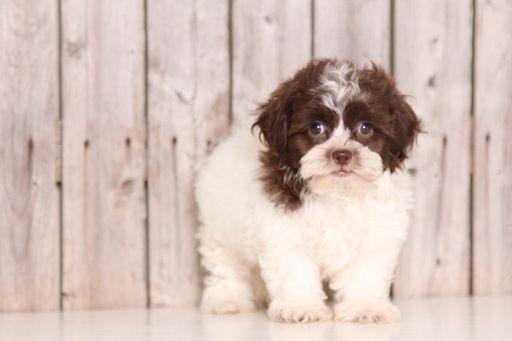 Zuchon puppy for sale in MOUNT VERNON, OH. ADN-40251 on PuppyFinder.com Gender: Male. Age: 9 Weeks Old