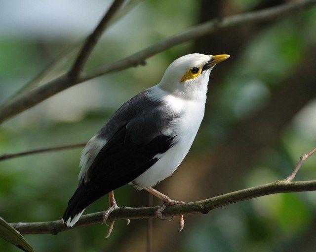 Burung Jalak Putih (rajagantang.blogspot.com)