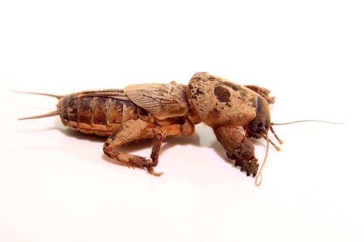 Gryllotalpa gryllotalpa, Garden Pest, mole Cricket