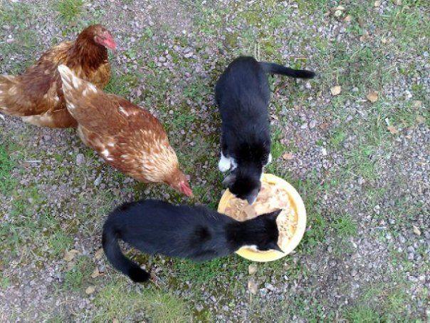 Kissat ja kanat sulassa sovussa
