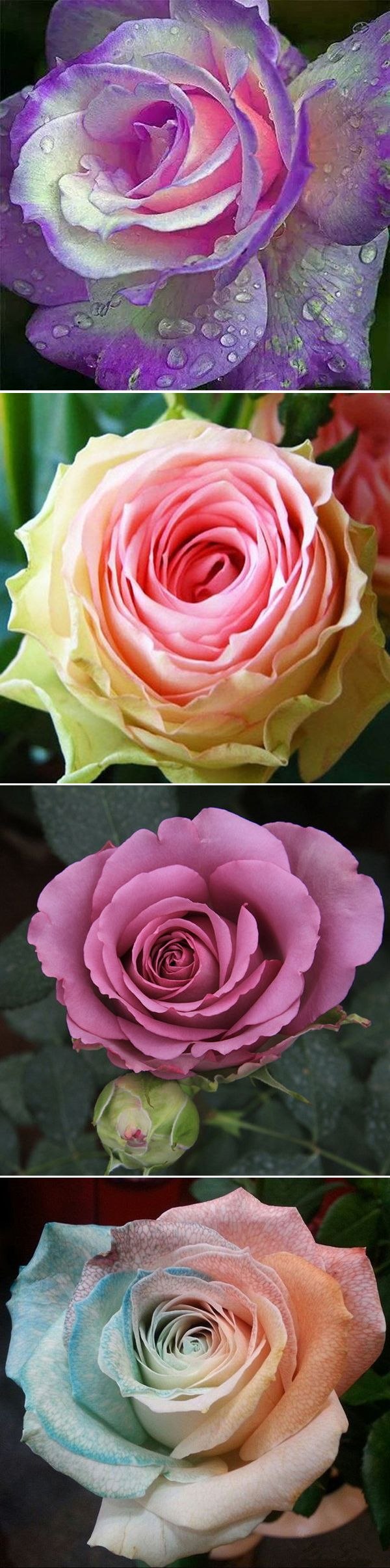 US$2.59 100Pcs Multicolor Rose Seeds Purple Pink Heart Roses Seeds Multicolor Garden Flowers