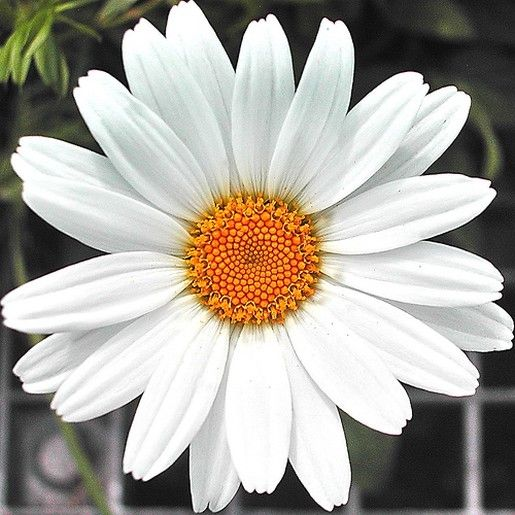 snow white daisy flower with bright yellow eye.jpg - how to make the spiral daisy die end up like this