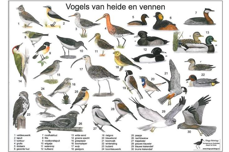 Zoekkaart Vogels van heide en vennen, leuk om te doen met kinderen