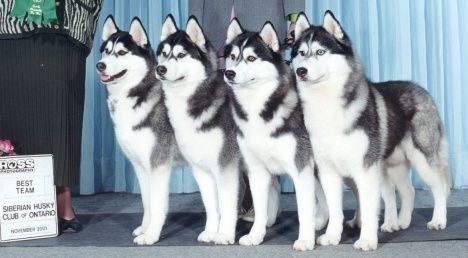 Bain's Northern Kennel Siberian Huskies - Breeder of Top Winning Champion Purebred Show Dogs, Sled Dogs and Pets - Siberian Husky Puppies - Siberian Huskies