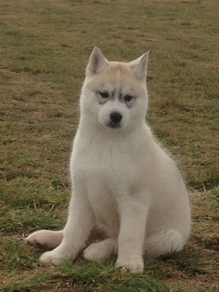 My Dire Wolf Baby Dire Wolf Pinterest Babies Dire