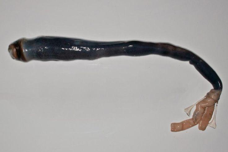 Cientistas encontram gigantes moluscos pré-históricos nas Filipinas