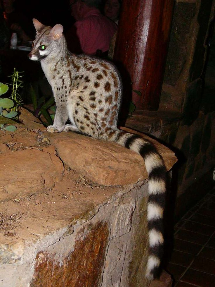 Genet Cats Have Such Beautiful Extremely Long Tails And