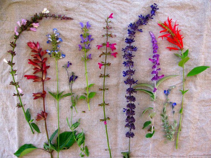 From the left:Salvia 'Waverly', Salvia 'Wendy's Wish', Salvia uliginosa, Salvia greggii 'Navajo Dark Purple', Salvia transylvanica, Salvia chiapensis, Salvia 'Indigo Spires',Salvia leucantha, Salvia chamaedryoides & Salvia elegans 'Pineapple Sage'.