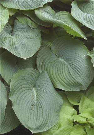 "Hosta 'Sieboldiana Elegans' - Photo of leaves up close - Height 20"", Spread 40"" Full-Part Shade. Huge 10 x 9 inch, blue-gray, rounded leaves. They become heavily textured and corrugated as they mature; slug resistant. Blue leaf color is best achieved in light sun. White flowers bloom in clusters on 34"" scapes in midsummer.  Info. via PerennialResource  Photo by Walters Gardens, Inc."
